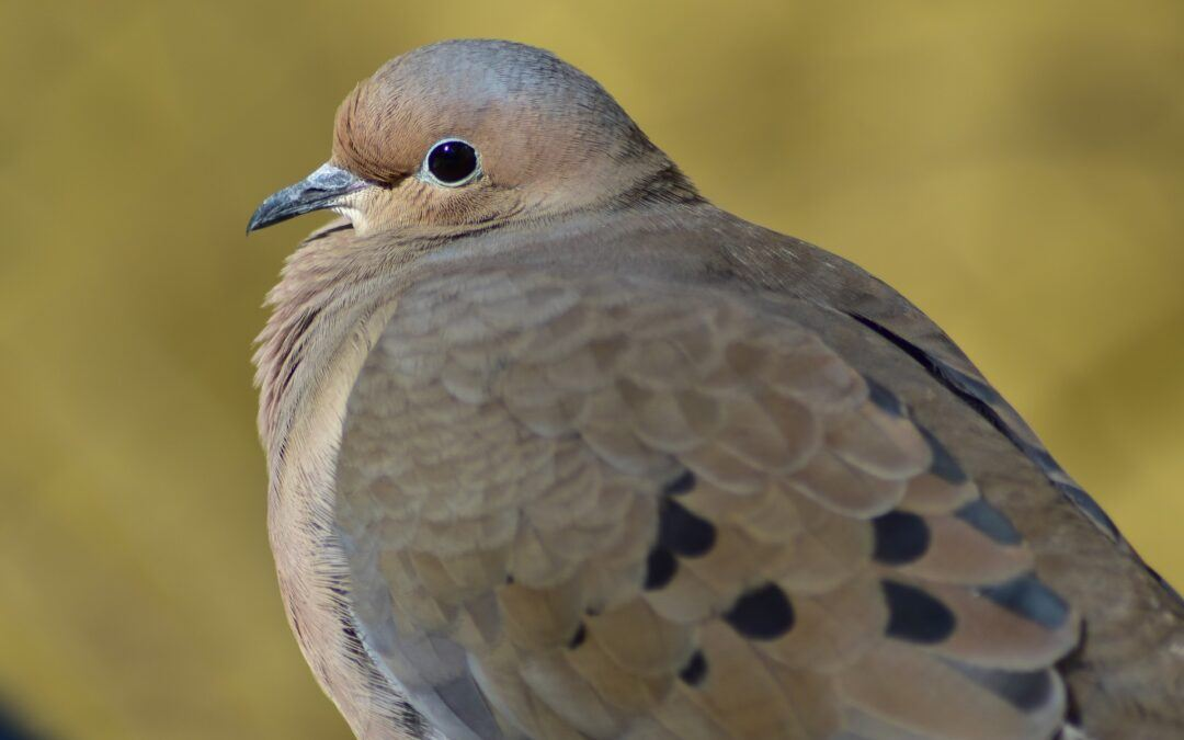 Mourning Dove Morning